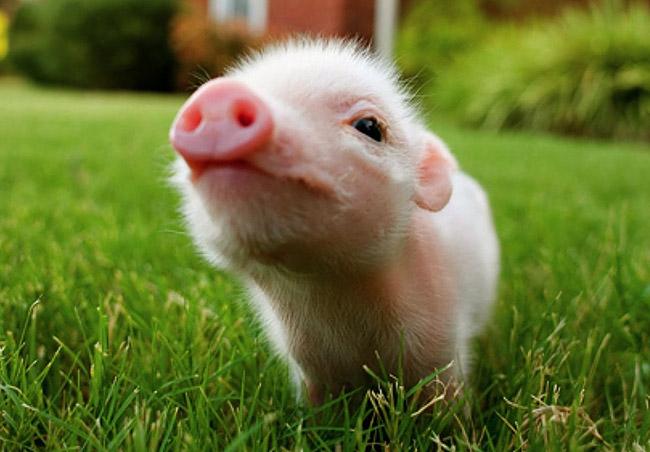 Cucciolo di maiale